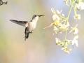 Bee Hummingbird - Female - Birding in Cuba
