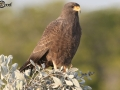 Cuban Black-Hawk - Birding in Cuba