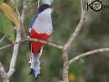 Cuban Trogon - Birding in Cuba