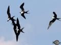 Magnificent Frigatebird - Birding in Cuba