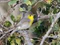 Oriente Warbler - Birding in Cuba