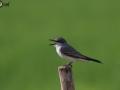 Gray Kingbird - Birding in Cuba