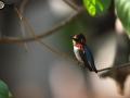 Bee Hummingbird - Birding in Cuba