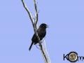Red-shouldered Blackbird - Female