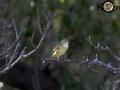 Yellow Warbler - Immature