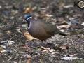 Blue-Headed Quail-dove - Endemic
