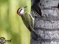 Cuban Green Woodpecker - Endemic