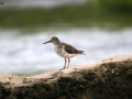 Spotted Sandpiper - Summer