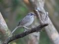 Zapata Sparrow - Cayo Coco