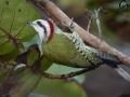 Cuban_Green_Woodpecker_3