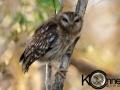 Bare-legged owl 2 copy