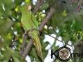 Cuban Parakeet copy