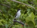 Loggerhead Kingbird - Side View